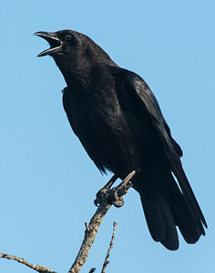 Crow, Wichita Mountains Wildlife Refuge, OK