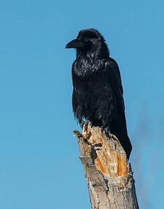Raven, Bosque Del Apache National Wildlife Refuge, NM