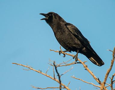 Crow, Wichita Mountains National Wildlife Refuge, OK