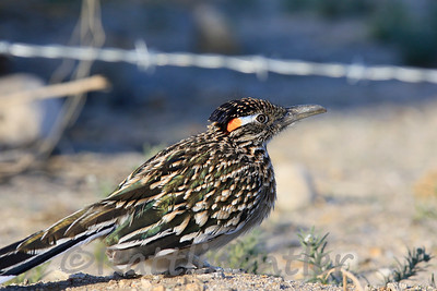 Greater Roadrunner