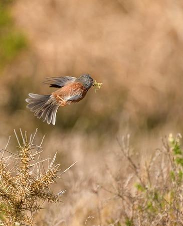 Dartford Warbler nesting