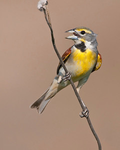 Dickcissel, Hackberry Flat Wildlife Management Area, OK