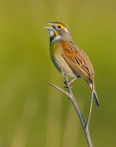 Dickcissel, Hackberry Flats Wildlife Management Area, OK