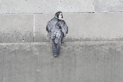 Perigrene Falcon