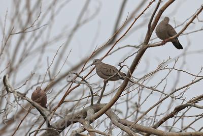 Common Ground Doves