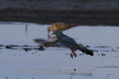 Rock Dove (Pigeon)