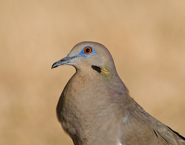 White Winged Dove, Comanche County, Oklahoma
