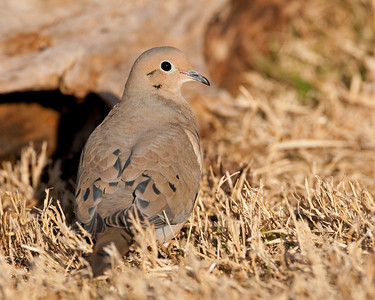 Mourning Dove, Comanche County, Oklahoma