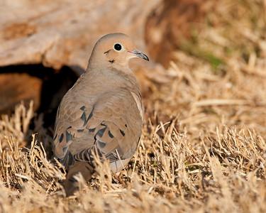 Mourning Dove, Comanche County, Oklahoma