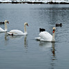 A trio of lovely Mute Swans - Ashington Mar 09
