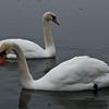 Mute Swans - Ashington Mar 09