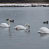 Nice flotilla of Mute Swans - Mar 09