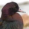 Mallard Duck - Ashington Mar 09