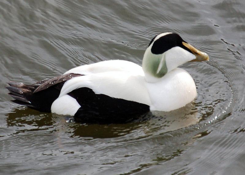 An Eider Duck