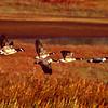 Canada Geese.  San Elijo Lagoon,  Encinitas, California.