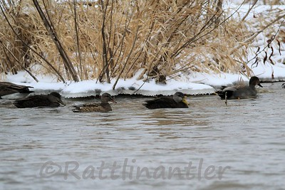 Black Ducks with Gadwall Pair