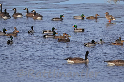 American Black Duck among Mallards