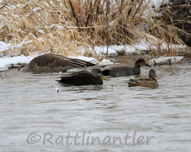 Black Duck with Gadwall Pair
