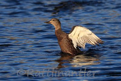 American Black Duck