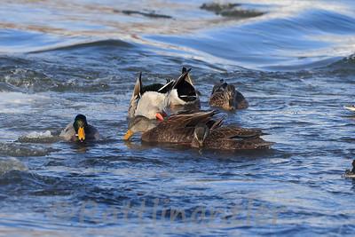 American Black Ducks with Mallards