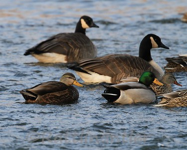 Black Duck with Mallards