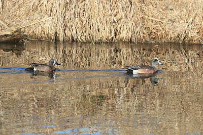Blue-Winged Teal and American Widgeon