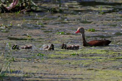 Black-Bellied Whistling Duck and Young