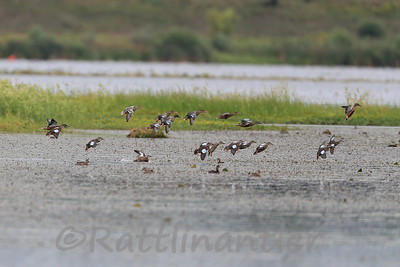 Northern Shovelers & Blue-Winged Teal