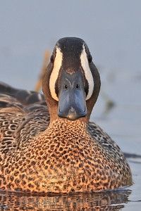 Blue-Winged Teal ♂