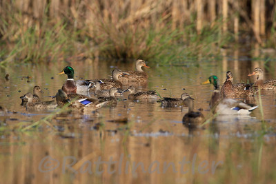 Mallards and Blue-Winged Teal