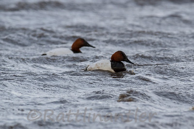 Canvasbacks ♂