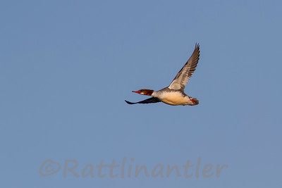 Common Merganser ♀