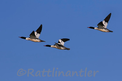 Common Mergansers ♂