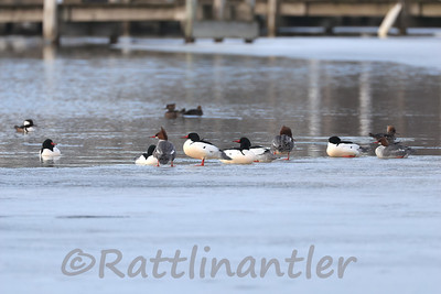Common Mergansers and Hooded Mergansers
