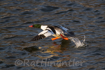 Common Merganser ♂