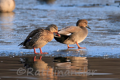 Mallard Hen and Gadwall Drake
