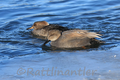 Gadwall with Hen Hooded Merganser