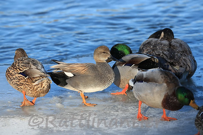 Gadwall among Mallards