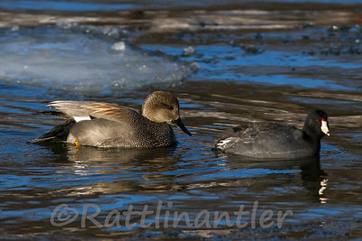 Gadwall ♂ with a Coot