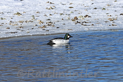 Common Goldeneye ♂