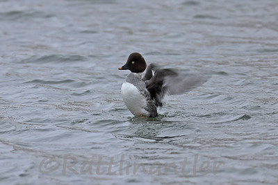 Common Goldeneye ♀