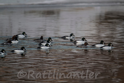 Barrow's Goldeneye and Common Goldeneyes