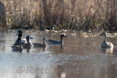 Blue-Winged Teal, Green-Winged Teal, Mallards