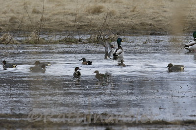 Green-Winged Teal, Blue-Winged Teal, Mallards