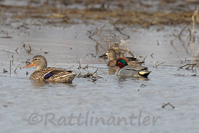 Hen Mallard, Blue-Winged Teal ♀, Green-Winged Teal ♂