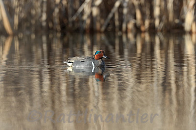 Green-Winged Teal ♂