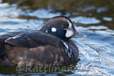 Harlequin Duck ♂