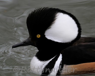 Hooded Merganser ♂