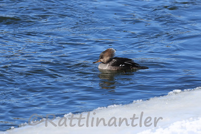 Hooded Merganser ♀