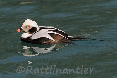 Long-Tailed Duck ♂